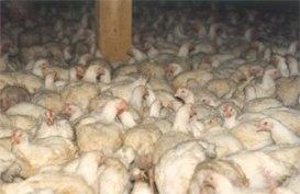 poulets_intensif