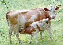 vache-et-son-petit-veau