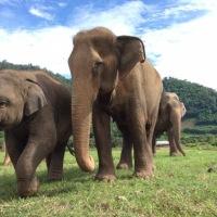 La situation des éléphants du Laos