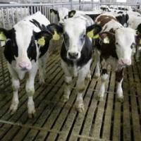 Qu'y a t-il derrière la ferme des 1 000 veaux, ou celle des 800 veaux ?