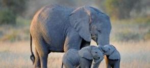 L'Europe lance une consultation pour sonder le public sur une interdiction totale de l'ivoire…