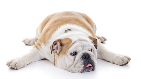 English Bulldog dog stretched over floor
